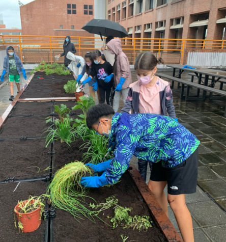 Even in the rain, lower school students stay after school for a late gardening session of transplanting plants and weeding. [ABBY CHANG/THE BLUE & GOLD]